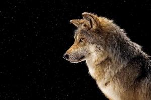 Мексикански сив вълк