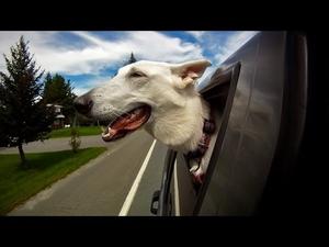 Кучета в коли