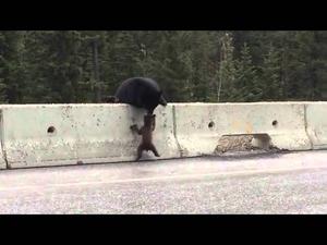 Мечка спасява малкото си от натовареното движение!