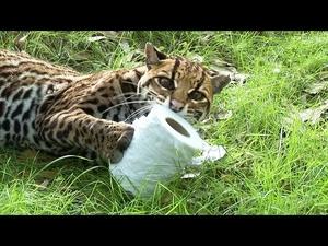 Всички котки имат слабост към тоалетна хартия, дори големите!