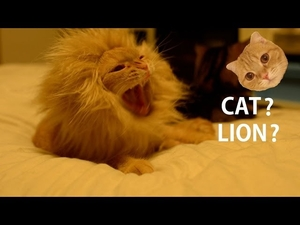 Котката, която иска да стане лъв!